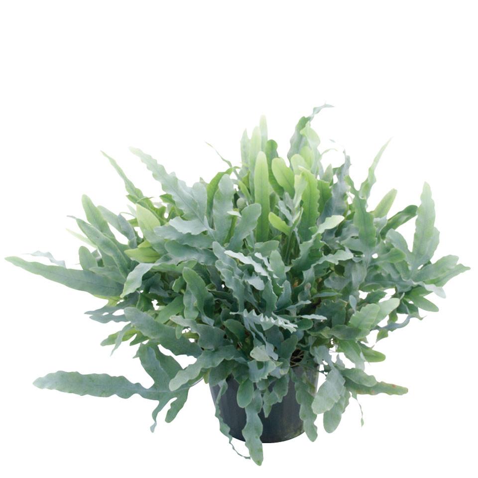 blue star phlebodium aureum 39 mandaianum 39 vitro plus. Black Bedroom Furniture Sets. Home Design Ideas